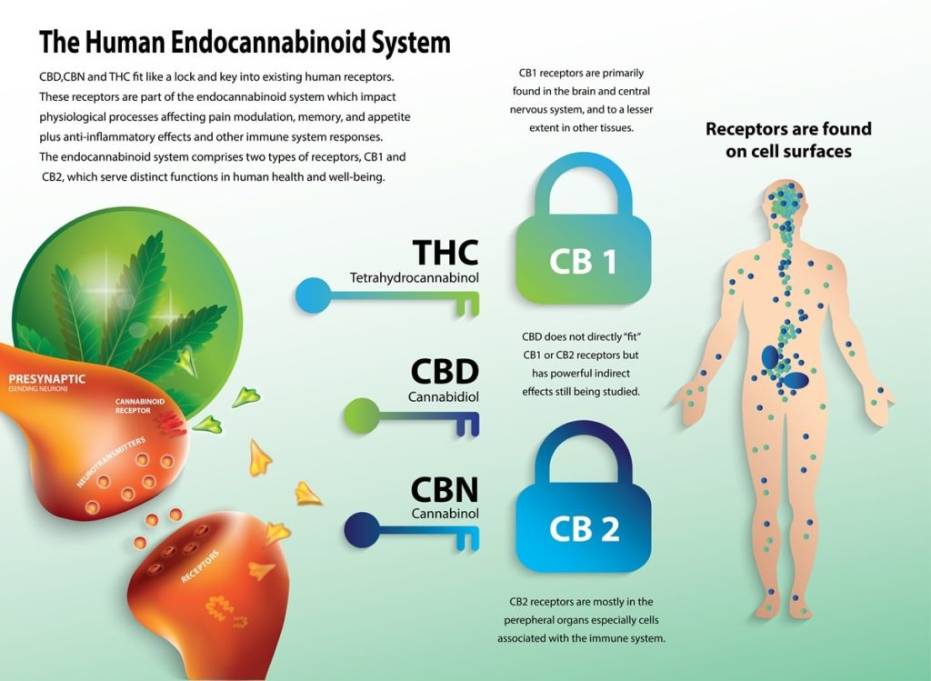 cbd impact on endocannabanoid system in body